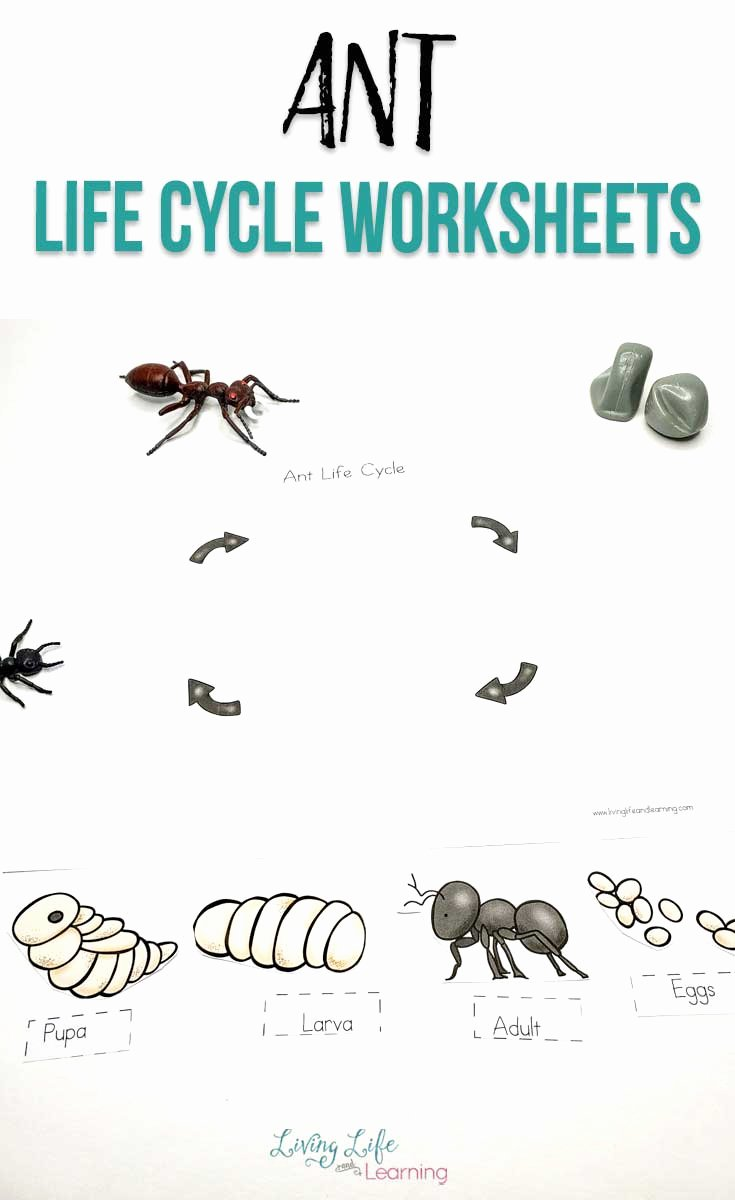 Ant Worksheets for Preschoolers Unique Ant Life Cycle Worksheets