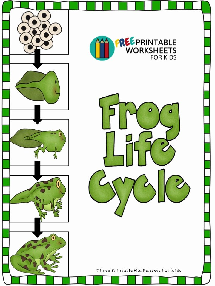 Frog Worksheets for Preschoolers Awesome Frog Life Cycle