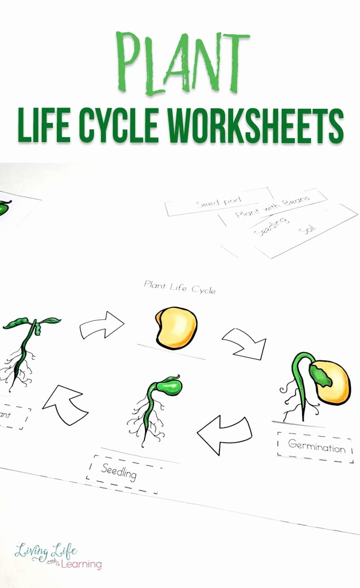 Plant Worksheets for Preschoolers top Plant Life Cycle Worksheets for Kids